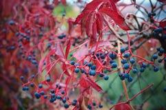 Bunte wilde Trauben im Herbst Lizenzfreies Stockfoto