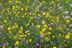 Bunte Wildflowers auf dem Gebiet Säubern Sie Ñ- ommon Distel, Schierling, Saudistel lizenzfreie stockfotos