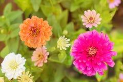 Bunte Zinnia-Blume auf Baum im Garten Lizenzfreie Stockfotos
