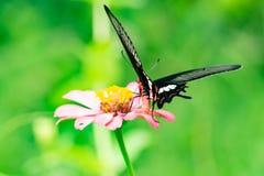 Bunte Zinniablumen, Schmetterling und trinkender Nektar der Wanze von z stockfoto