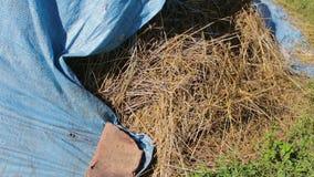 Bunten av sugrör eller hö täckas med blå polyetylen i den öppna luften i sommar arkivfilmer