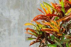 Bunter Abschluss herauf bunten Croton pflanzt Blatt und grauen Zementwandhintergrund Stockfotos