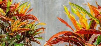 Bunter Abschluss herauf bunten Croton pflanzt Blatt und grauen Zementwandhintergrund Lizenzfreie Stockfotos