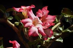 Bunter Adenium in meinem Garten im Sonnenschein Lizenzfreie Stockfotos