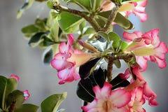 Bunter Adenium in meinem Garten im Sonnenschein Stockfotografie