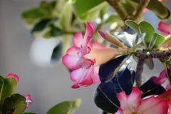 Bunter Adenium in meinem Garten im Sonnenschein Lizenzfreie Stockbilder