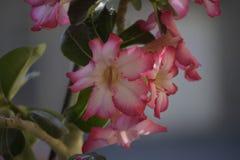 Bunter Adenium in meinem Garten im Sonnenschein Lizenzfreie Stockfotografie