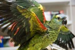 Amazonas-Papagei Wings heraus Stockbild
