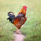 Bunter Bauernhof des schönen Hahns Hühner, draußen schießend Selbst gemachtes Geflügel Rustikaler Blick stockfotografie