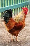Bunter Bauernhof des schönen Hahns Hühner, draußen schießend Selbst gemachtes Geflügel Rustikaler Blick stockfoto