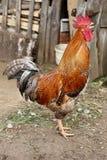 Bunter Bauernhof des schönen Hahns Hühner, schießend stockfotografie