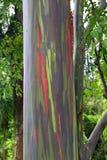 Bunter Baum Kappau Hawaii Lizenzfreies Stockbild