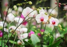 Bunter Blütenstand von weißen Phalaenopsisorchideen mit roter gestreifter blühender Gruppe und von Blättern im Blumenbauernhof lizenzfreies stockfoto