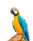 Bunter blauer Papagei Macaw auf weißem Hintergrund Lizenzfreies Stockbild