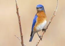 Bunter blauer Vogel - die männliche Ostdrossel in Ontario Stockfotos