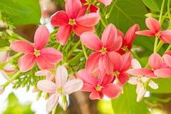 Bunter Blume Drunen-Seemann, Rangun-creeperQuisqualis Indica Lizenzfreie Stockbilder