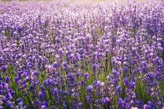Bunter Blumenhintergrund, Lavendelblumen in der Hintergrundbeleuchtung lizenzfreie stockfotografie