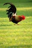 Bunter brauner Hahn, der Lebensmittel findet Stockfoto