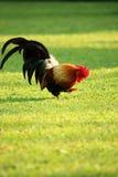 Bunter brauner Hahn, der Lebensmittel findet Stockfotografie