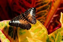 Bunter Croton und Schmetterling Stockbilder