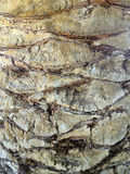 Bunter Diamond Cut Palm Bark Lizenzfreies Stockfoto