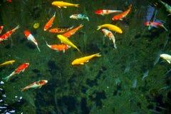 Bunter fantastischer Koi Fish mit schwarzem Hintergrund kann Gebrauch zum Hintergrund, Tapete, Screensaver, Kopieraum, Hinzufügen stockfoto