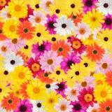 Bunter Gänseblümchenhintergrund Stockfoto