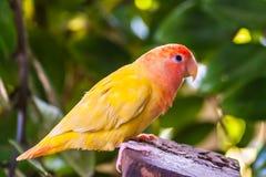 Bunter gelber Papagei auf Stumpf im Dschungel lizenzfreies stockbild