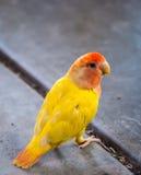 Bunter gelber Papagei auf Zementboden Stockbild