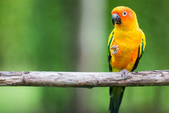 Bunter gelber Papagei, Sun Conure Stockfotos
