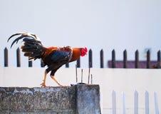 Bunter Hahn auf dem Zaun Modisches helles Foto des inländischen Vogels mit bunten Federn und des roten jungen Hahns Lizenzfreie Stockbilder