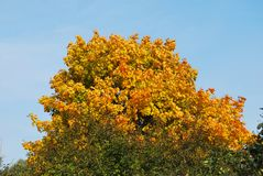 Bunter Herbstahorn Stockfotografie