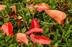 Bunter Herbstlaub der Nahaufnahme auf Hecke stockfotos