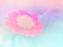 Bunter Hintergrund abstrakter undeutlicher Zinnia Blume Stockfotos