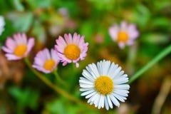 Bunter Hintergrund der Gänseblümchenblume stockbild