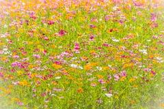 Bunter Hintergrund des Kosmos blüht auf dem Gebiet am sonnigen Tag Sommer- und Frühlings-Saison-Blumen, die schön auf dem Gebiet  Stockfoto