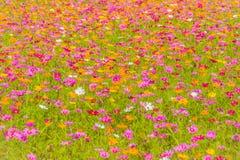Bunter Hintergrund des Kosmos blüht auf dem Gebiet am sonnigen Tag Sommer- und Frühlings-Saison-Blumen, die schön auf dem Gebiet  Lizenzfreies Stockbild
