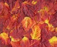 Bunter Hintergrund des roten Herbstlaubs. Stockfotos