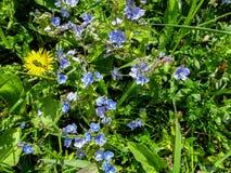 Bunter Hintergrund von blauen und gelben Wiese Florets in der Frühsommernahaufnahme Lizenzfreie Stockfotos