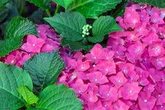 Bunter Hintergrund von purpurroten Hortensia- und Grünblättern Lizenzfreie Stockfotos