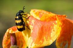 Bunter Käfer auf bunter Blume Stockbild