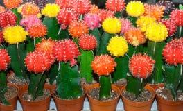 Bunter Kaktus ist im Bauernhof schön Lizenzfreie Stockbilder