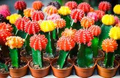 Bunter Kaktus ist im Bauernhof schön Lizenzfreies Stockfoto