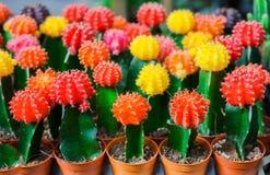 Bunter Kaktus ist im Bauernhof schön Stockbild