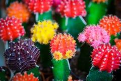 Bunter Kaktus ist im Bauernhof schön Lizenzfreie Stockfotos