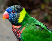 Bunter Lorikeet Vogel stockbilder