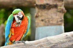 Bunter Macaw isst Nahrung auf dem Zweig Lizenzfreie Stockfotos
