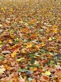 Bunter natürlicher Herbstahornbaum, Litauen Stockfotografie
