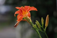 Bunter orange Tag Lily With Blooms Stockbild
