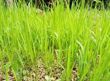 Bunter Paddy Cultivation in Sri Lanka stockfotos